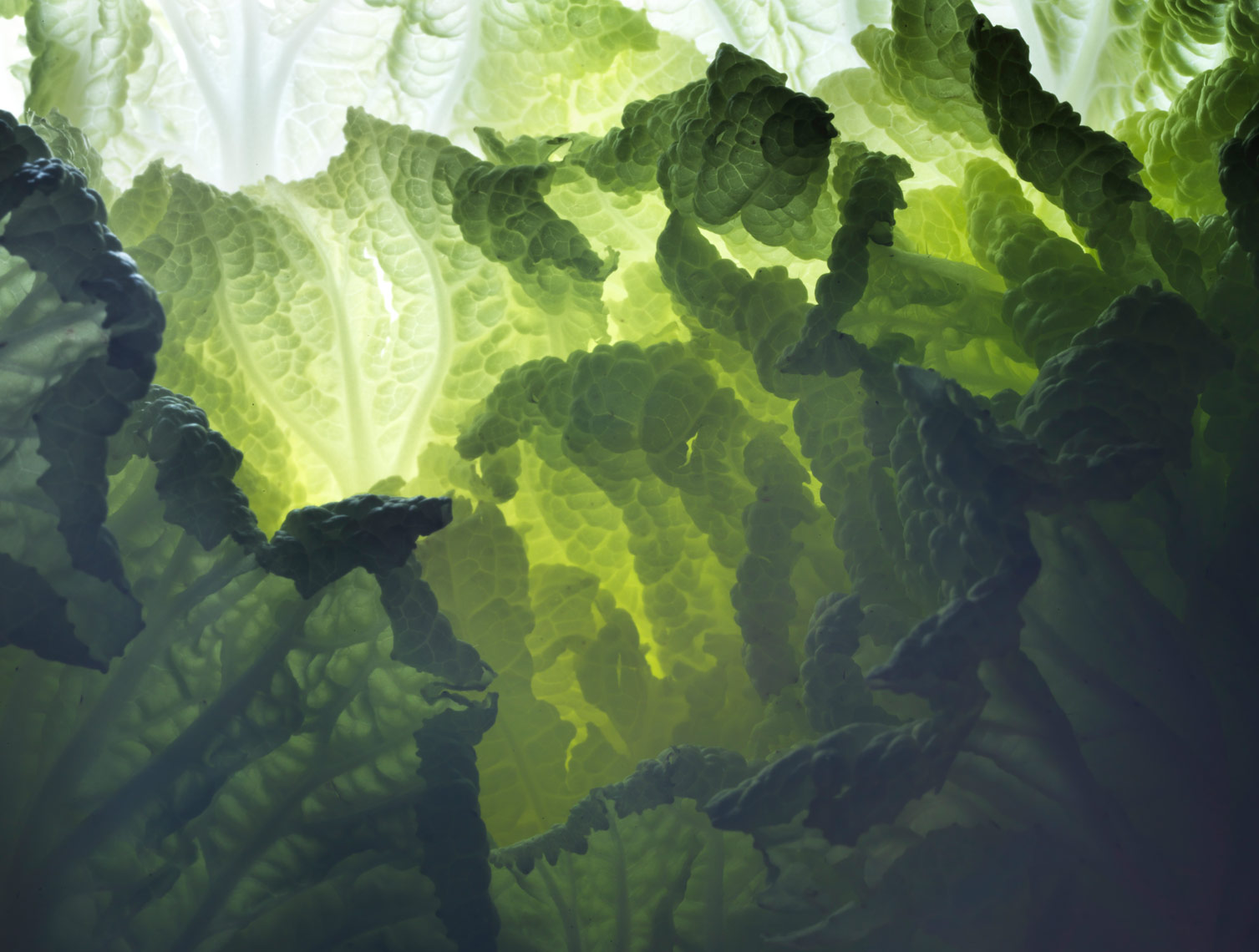 savoy cabbage close up image