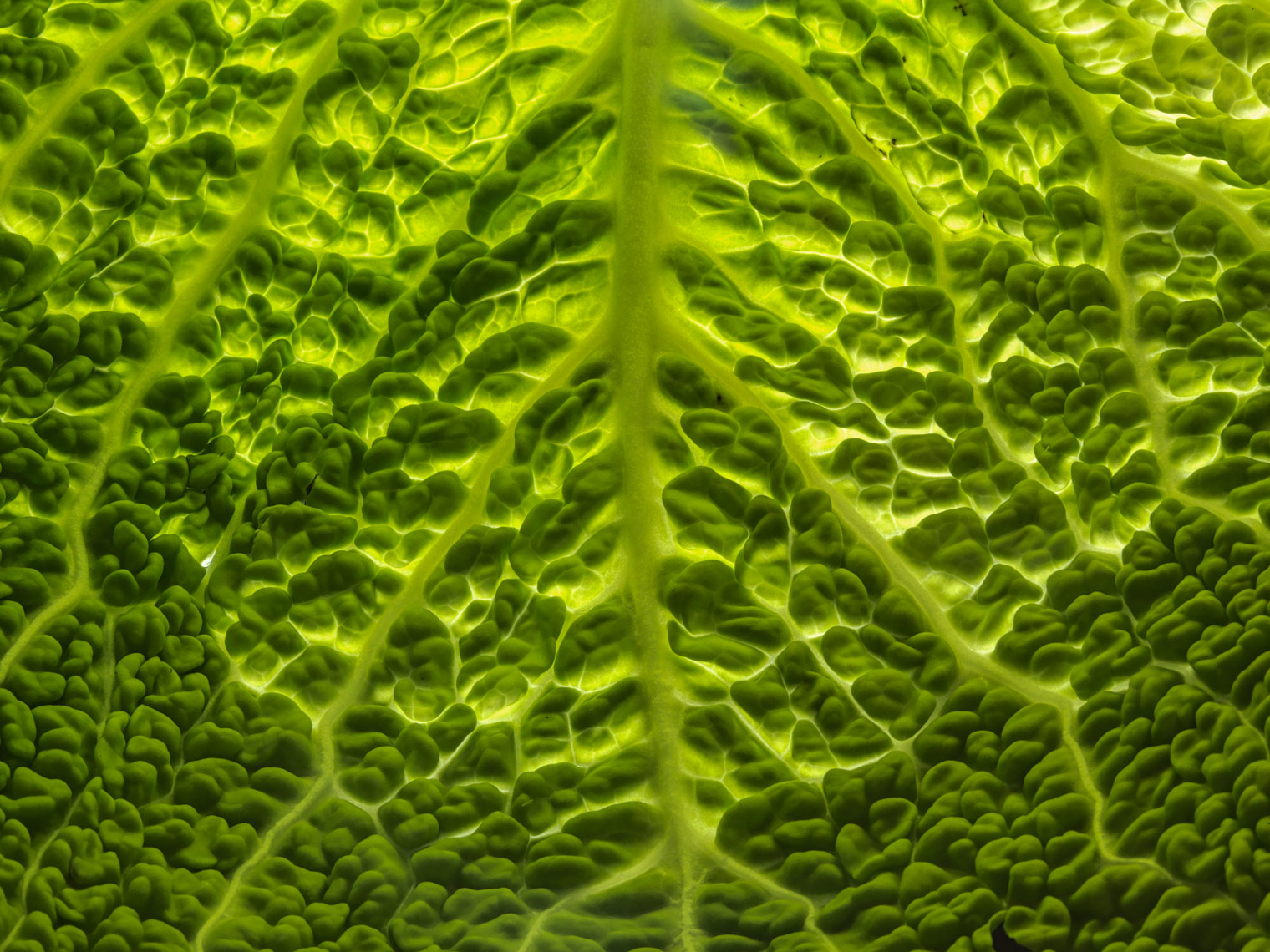 macro image of backlit leaf of green cabbage