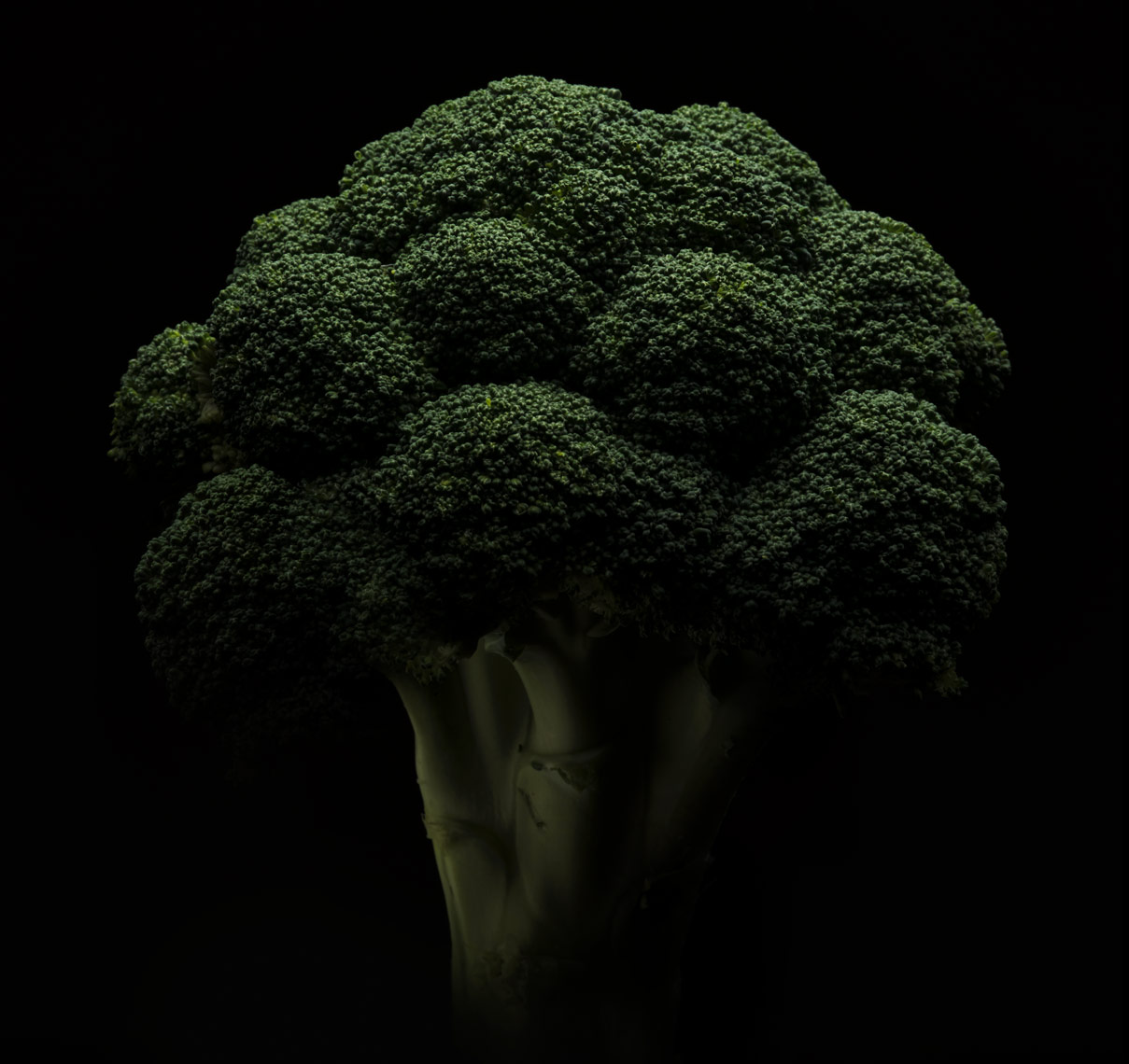 dramatic stalk of broccoli on a black background